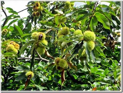 chestnut5