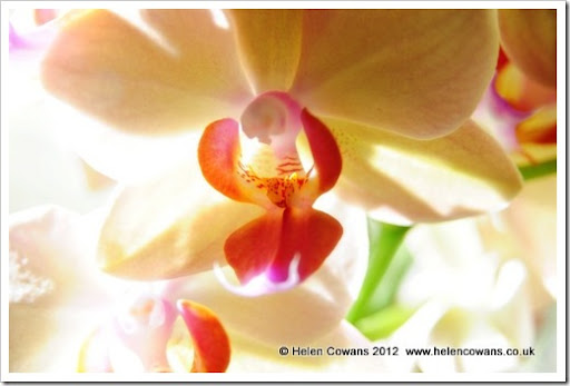 orchid close2