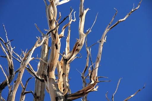 bristlecone-pines-1