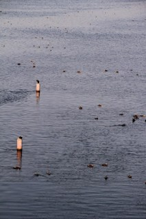上流側で羽根を休める鳥たち