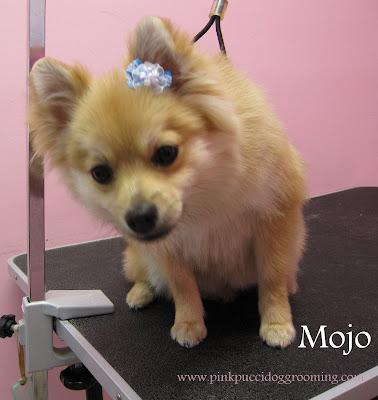 Mojo The Pomeranian