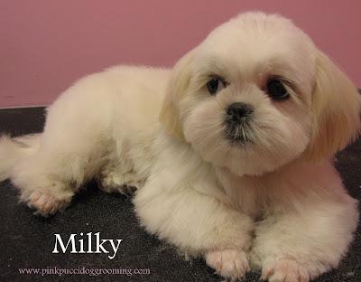 Milky The Shih Tzu