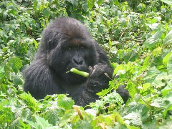 Mountain gorillas in Parc National des Volcans, Rwanda.