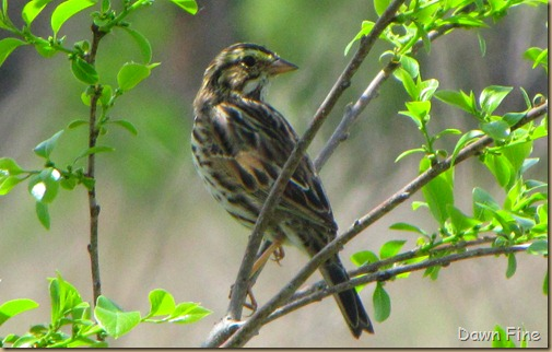 Cassins Sparrow in NC_023