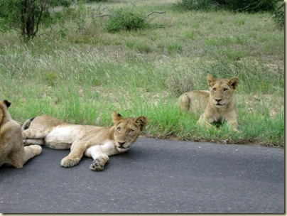 Lion cubs Kruger National Park Mpumalanga South Africa