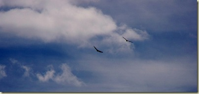 03 Turkey Vultures soaring over Navajo Lake Hwy 14 UT (1024x480)