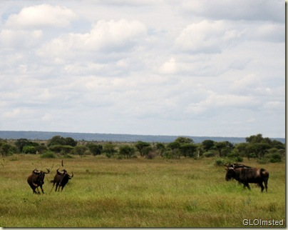 Wildebeasts Kruger Nationa Park Mpumalanga South Africa