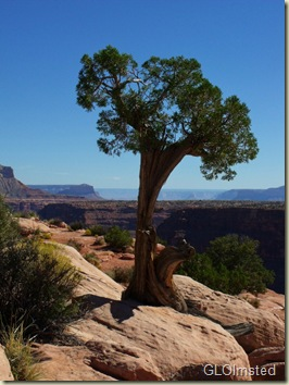 Juniper at the rim looking East Tuweep Grand Canyon National Park Arizona
