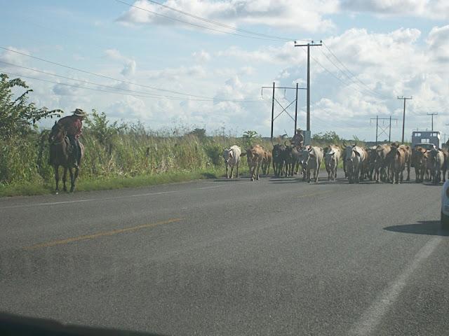 Ganado en la carretera llegando a Villahermosa