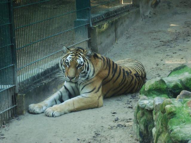 Tygrys syberyjski Dominik - za dnia też budzi respekt...