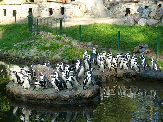 Pingwiny w Oliwie