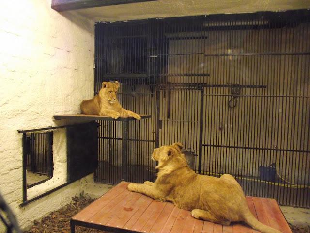 Lwy z zamojskiego zoo (fot. Zoo Zamość)