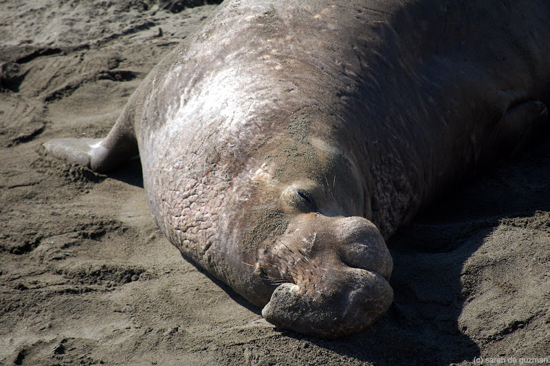 Elephant seals are HUGE!