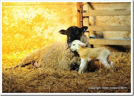 Sheep 301