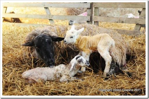Sheep 324