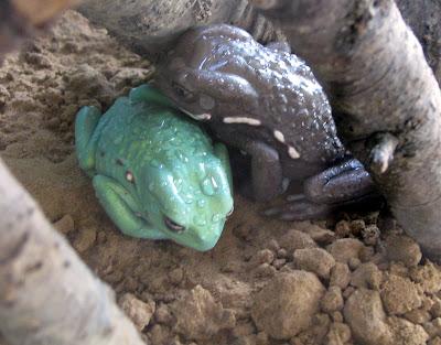 Wax Monkey Tree Frog
