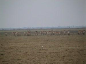 Impala (or Lechwe???)