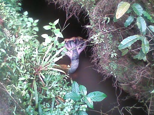 5 head Snake