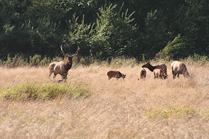 Elk in Elk Meadow - what a surprise!