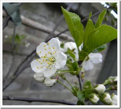 Morello Cherry blossom