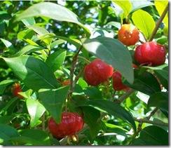 Pitanga Hojas y frutos