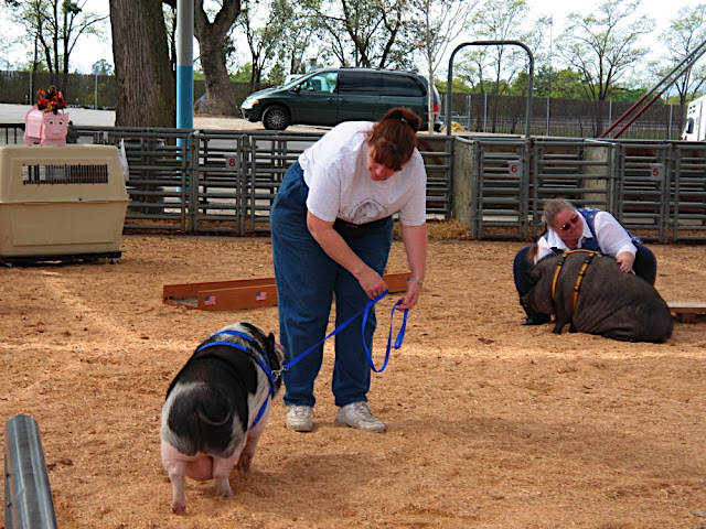 Potbelly pig daycare maintains pigs' mental and physical health.