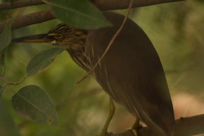 Pond Heron hiding from camera