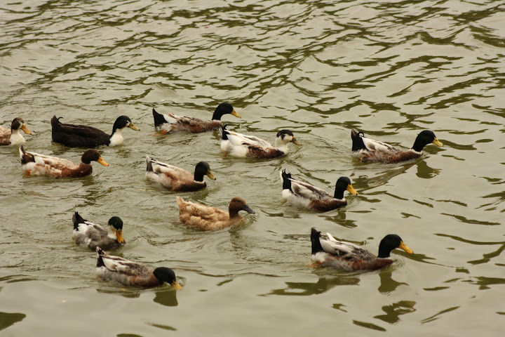 Lalbagh Lake with ducks