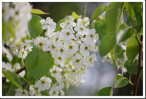 pear blossoms 2