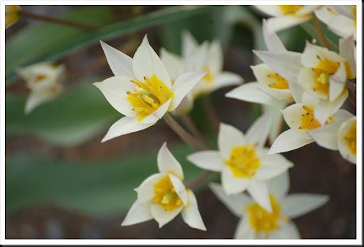 white rock tulips 2