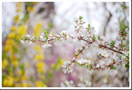 white blossom yellow forsythia2
