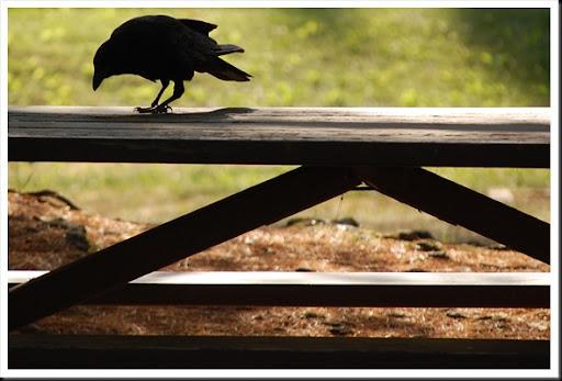 Crow Picnic