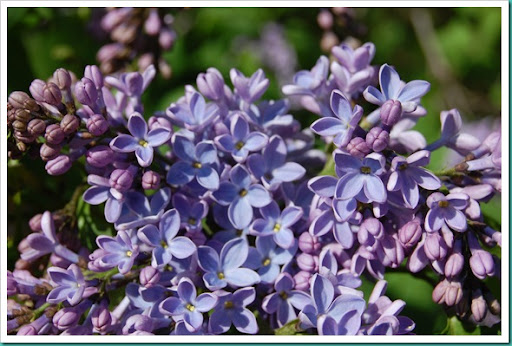 Lilacs Blue