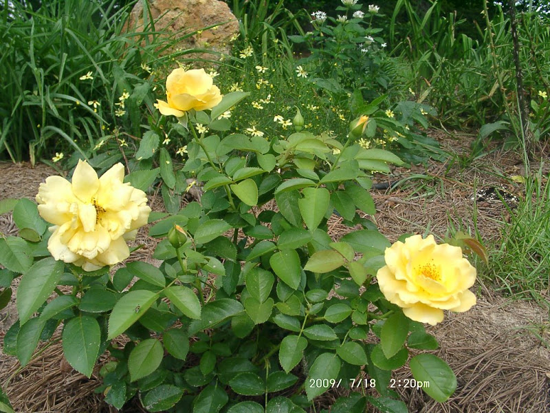 How to care for yellow roses-3452