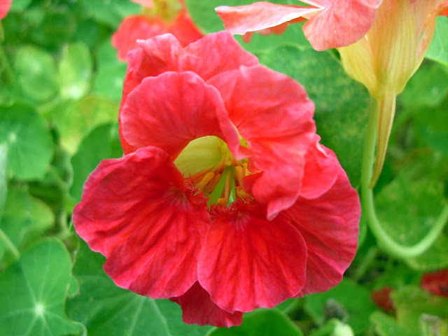 A nasturtium in flower