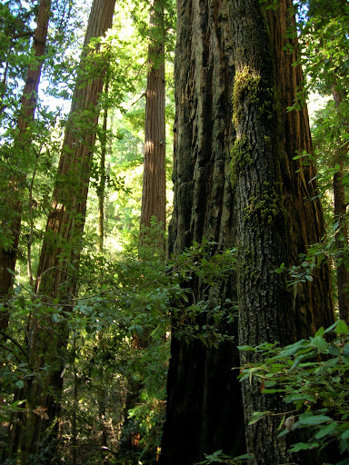 Old growth along the Canyon Trail