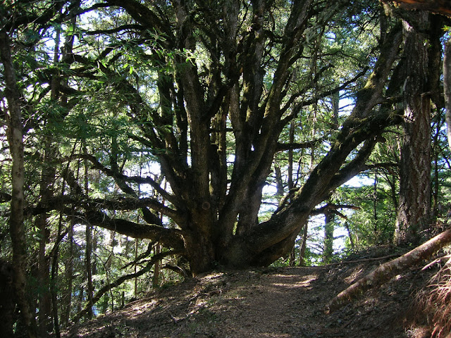 Giant oak tree on the Achistaca Trail
