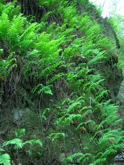 Lush ferns in Los Trancos Creek canyon