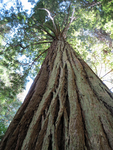 Looking up a Redwood