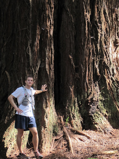 A large redwood