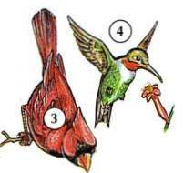 3. Кардинал 4. Colibri