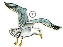 7. seagull