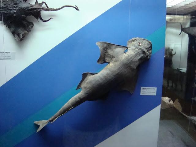 Muzeum Przyrodnicze we Wrocławiu - Anioł morski
