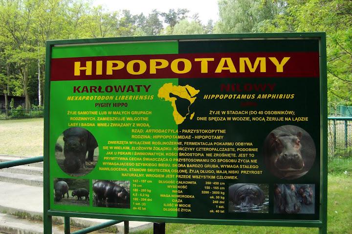 Hipopotam nilowy i karłowaty - znajdź różnicę...