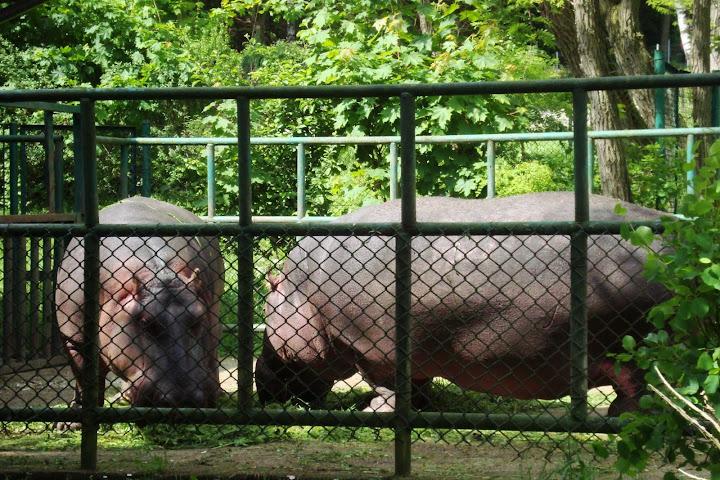 Hipopotamy nilowe na przedwybiegu - Zoo Oliwa