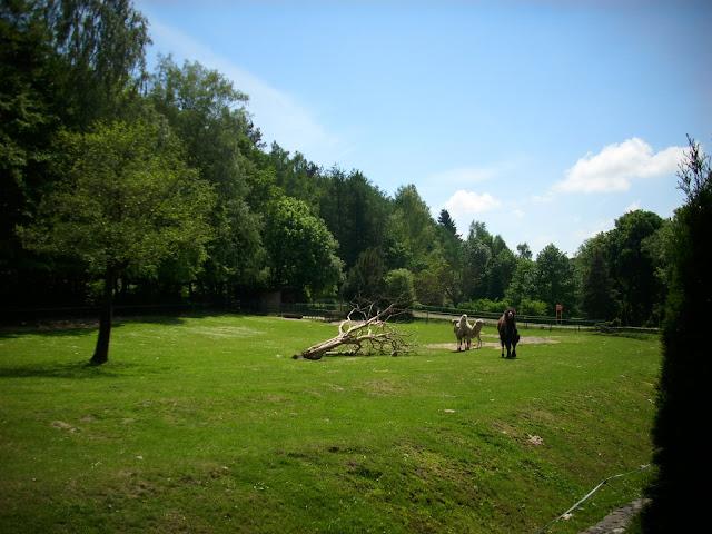 Wybieg wielbłądów dwugarbnych - Zoo Oliwa