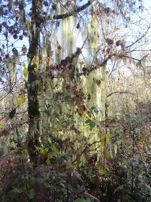 Heavy lichens