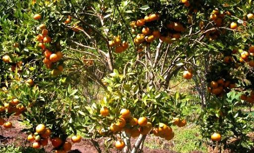 manfaat jeruk