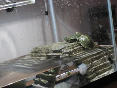 pet turtle hatchlings on zilla basking platform