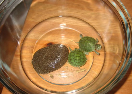 pet turtles in a small bowl